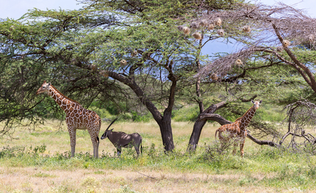 A giraffes and antelopes are standing together under a tree 版權商用圖片