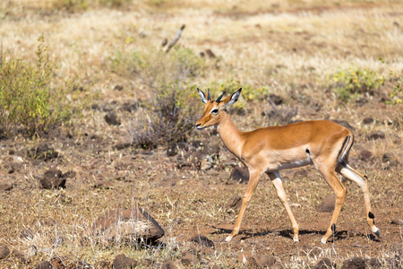 An antelope in the middle of the savannah of Kenya