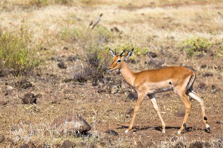 An antelope in the middle of the savannah of Kenya Reklamní fotografie