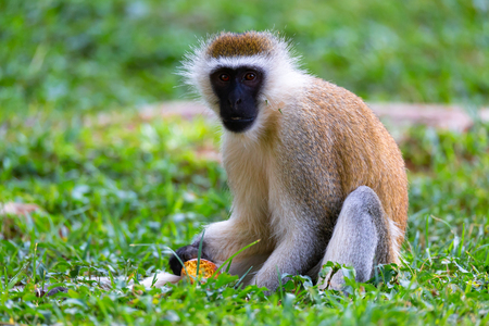 Un mono está haciendo una comida de frutas en la hierba. Foto de archivo