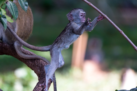 The monkey climbs around on a branch Stock Photo
