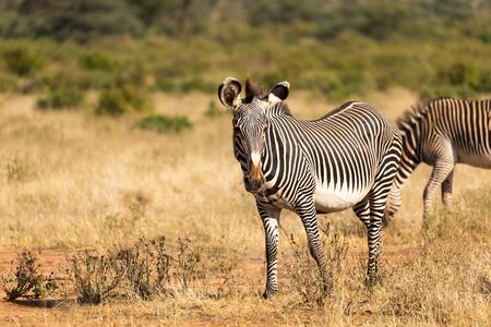Das Grevy-Zebra weidet in der Landschaft von Samburu in Kenia