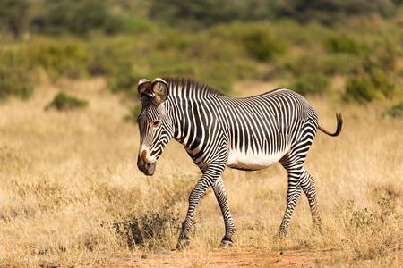 The Grevy Zebra is grazing in the countryside of Samburu in Kenya