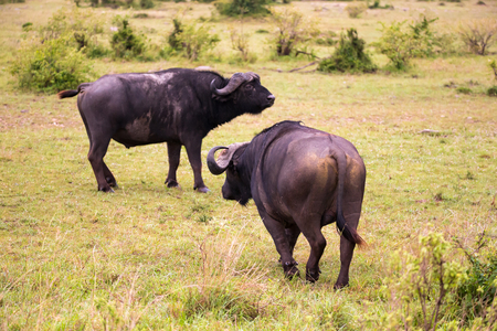 The Buffalos are standing in the savannah in the middle of a national park in Kenya