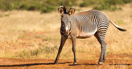 The Grevy Zebra is grazing in the countryside of Samburu in Kenya