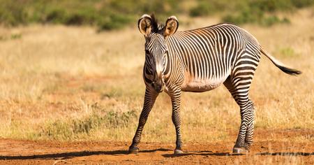 The Grevy Zebra is grazing in the countryside of Samburu in Kenya 版權商用圖片 - 122317848