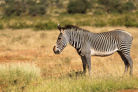 The Grevy Zebra is grazing in the countryside of Samburu in Kenya Stockfoto