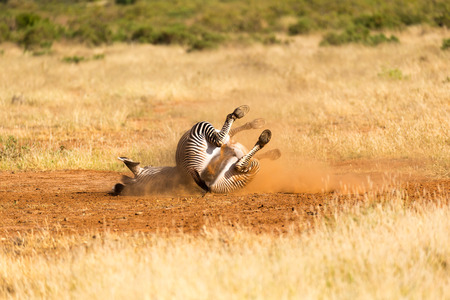 The Grevy Zebra lies on its back in the dust