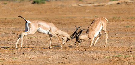 The battle of two Grant Gazelles in the savannah of Kenya