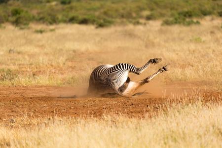 De Grevy Zebra ligt op zijn rug in het stof Stockfoto