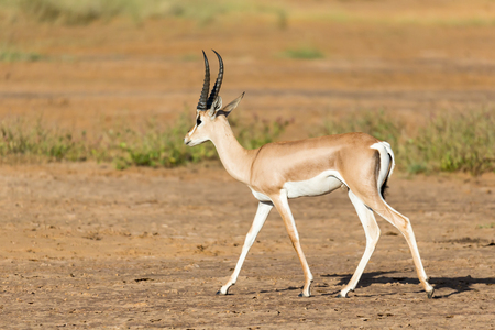 One Grant Gazelle stands in the middle of the grassy landscape of Kenya