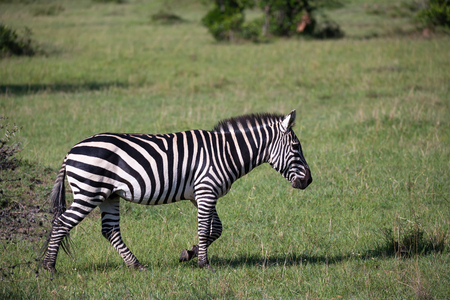 Some Zebras in the middle of the savannah of Kenya