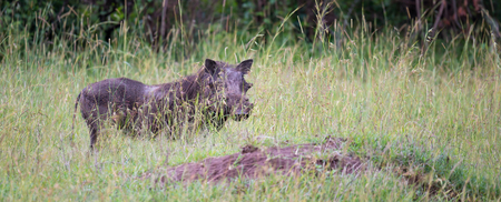 Some Warthogs are grazing in the savannah of Kenya