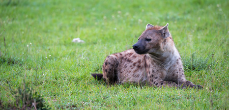 The hyena is lying in the grass in the savannah in Kenya Stock Photo - 122317674