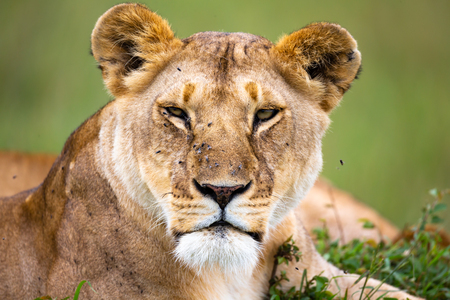 A portrait of a lioness, she lies in the grass in the savannah Stok Fotoğraf