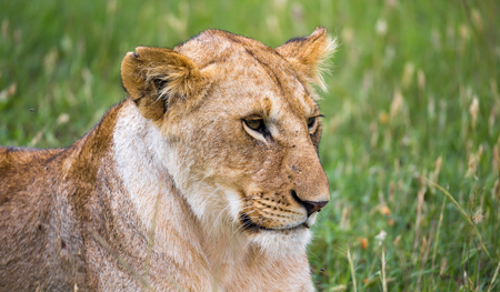 A portrait of a lioness, she lies in the grass in the savannah Stock Photo