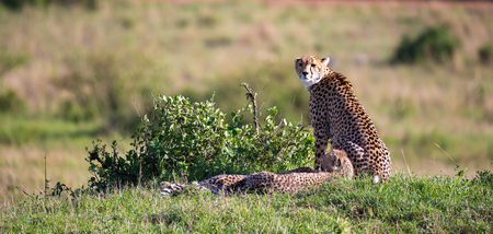The cheetah mother with two children in the Kenyan savannah Stockfoto