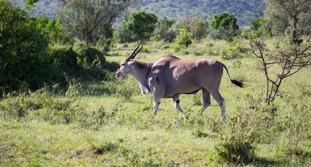 The Elands the largest antelope in Kenya's savannah