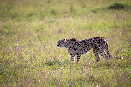 A cheetah walks between grass and bushes in the savannah of Kenya 스톡 콘텐츠