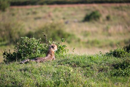 La mamma ghepardo con due bambini nella savana keniota