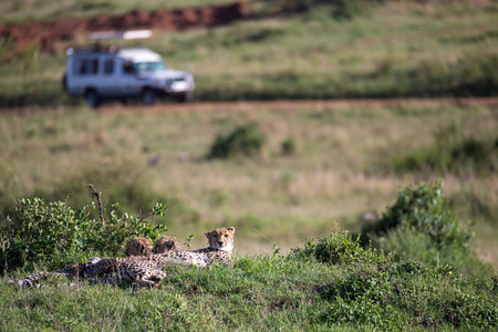 The cheetah mother with two children in the Kenyan savannah
