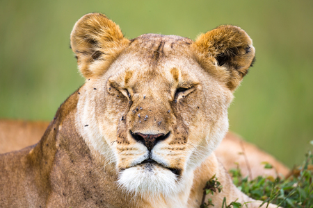 A portrait of a lioness, she lies in the grass in the savannah