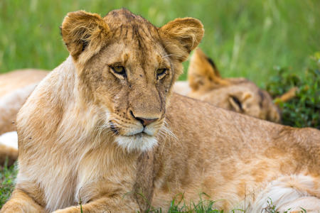 Un joven león en primer plano, el rostro de un león casi dormido Foto de archivo