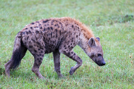 One hyena walks in the savanna in search of food Stock Photo - 123143950