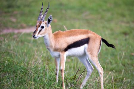 Una gazzella di Thomson nella savana del Kenya in mezzo a un paesaggio erboso