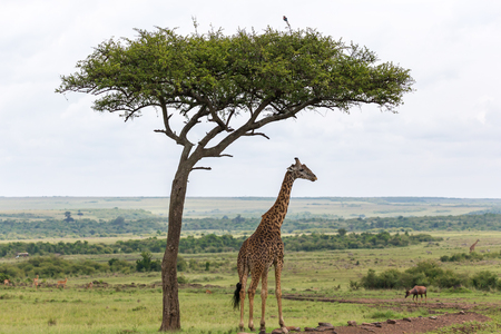 One Maasai giraffe stands under a tree
