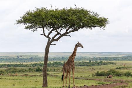Una jirafa masai se encuentra debajo de un árbol.