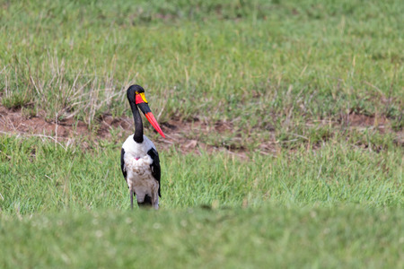 One stork with black red golden beak is standing in the grass Banque d'images