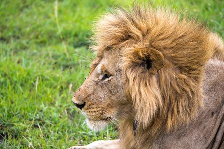 The close-up of the face of a lion in the savannah of Kenya