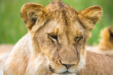 One young lion in close-up, the face of a nearly sleeping lion Reklamní fotografie