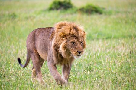 Un gran león macho está caminando en la sabana. Foto de archivo