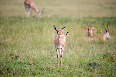 A Thomson Gazelle in the Kenyan savannah amidst a grassy landscape