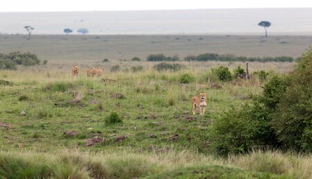 A lion family in the savannah of Kenya