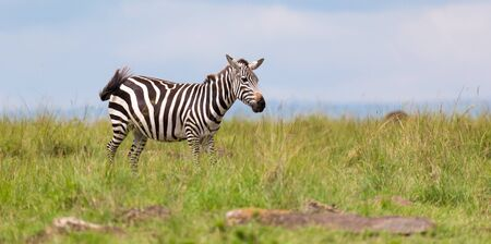 One zebra is browsing on a meadow in the grass landscape