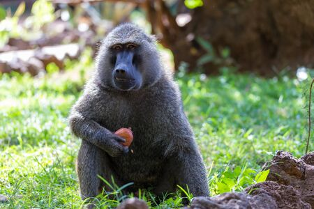 One baboon has found a fruit and eats it
