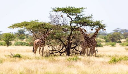 The giraffe group eats the leaves of the acacia trees
