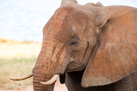 A face of a red elephant taken up close Stock Photo