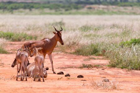 The family of Topi antelopes in the Kenyan savannah Archivio Fotografico - 128391563