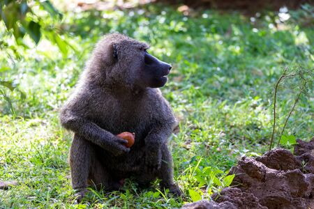 One baboon has found a fruit and nibbles on it