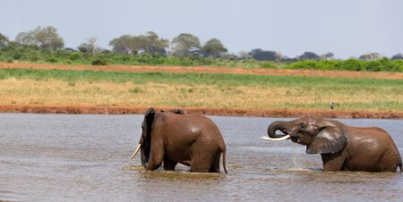 The red elephants bathe in a water hole in the middle of the savannah Imagens