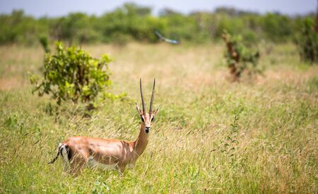 The Grant gazelle walks between tall grass