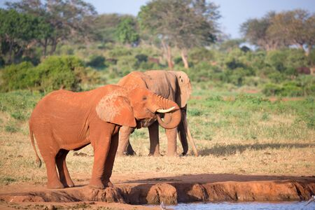 A big red elephants in Tsavo East National Park Stock Photo
