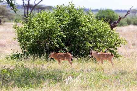 The Oryx family in the grassland of the Kenyan Savannah Фото со стока