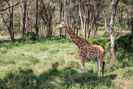 One pregnant giraffe stands in the bushes