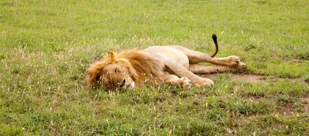 A big lion resting in the grass in the meadow