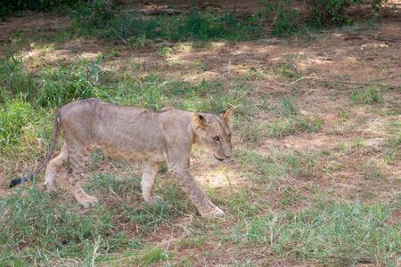 A young lion in a meadow in the savannah